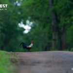Grey Jungle Fowl at Tadoba in Monsoons