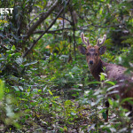 hog deer at Kaziranga National Park