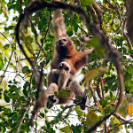 hoolock gibbon with baby at Kaziranga National Park