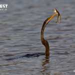 indian darter with frog at ranthambore national park