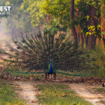 peacock dancing in habitat at dudhwa national park
