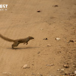 tree shrew at pench tiger reserve