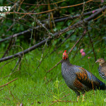 male grey jungle fowl with female at bandipur national park
