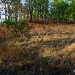 tiger in habitat at kanha national park