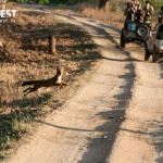 wild dog crossing road at kanha national park