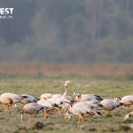 geese bird at Kaziranga National Park