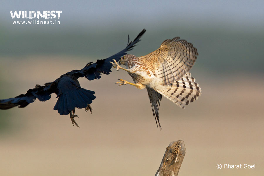 kestral attacking crow at velavadar national park