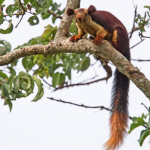 malabar gaint squirell at bandipur national park