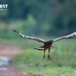 oriental honey buzzard in flight at tadoba andhari tiger reserve