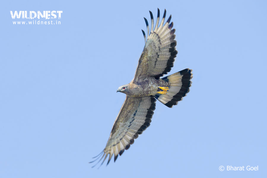 oriental honey buzzard at tadoba andhari tiger reserve
