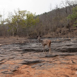 sambar deer at panna national park