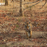 tiger at pench tiger reserve
