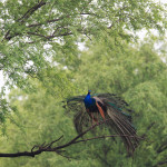 peacock dancing on tree at ranthambore national park