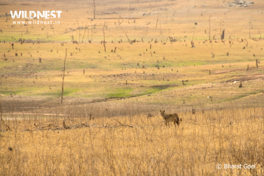 jackal in habitat at pench tiger reserve