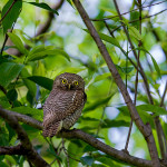 jungle owlet at rajaji national park