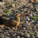 red jungle fowl at rajaji national park