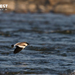 lapwing in flight at corbett tiger reserve