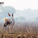 sarus crane dancing at keoladeo ghana national park