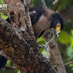 serpent eagle eating snake at dudhwa national park