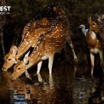 spotted deer drinking water at ranthambore national park