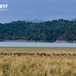 spotted deer herd at corbett tiger reserve
