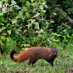 strip necked mongoose at bandipur national park