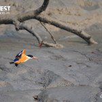 black caped kingfisher at sundarbans tiger reserve