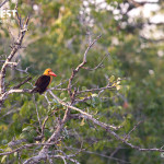 brown winged kingfisher at sundarbans tiger reserve