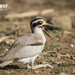 thick knee at ranthambore national park