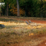 tiger attacking boar at tadoba andhari tiger reserve
