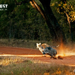 tiger killing boar at tadoba andhari tiger reserve