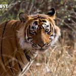 tiger photography at ranthambore national park