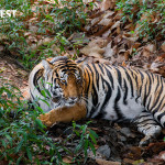 female tiger relaxing at kanha national park