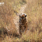 tiger walking in habitat at kanha national park