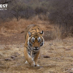 tiger walking Ranthambore