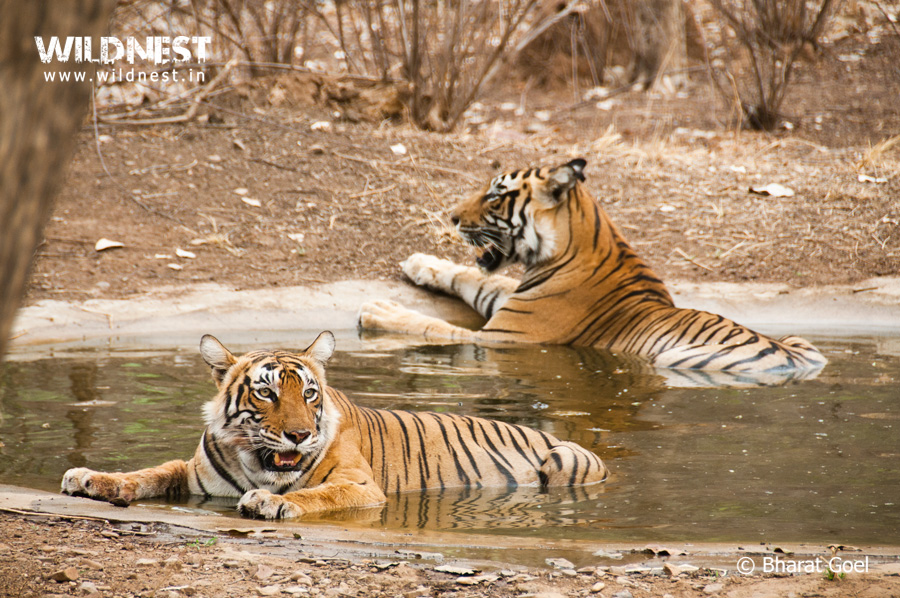 Tiger cooling in waterhole in summers at Ranthmabore National Park, Rajasthan, India