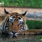 tiger relaxing in water at ranthambore national park