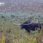 wild buffalow at Kaziranga National Park