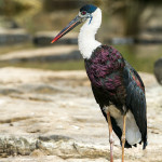 wooley-necked stork at ranthambore national park