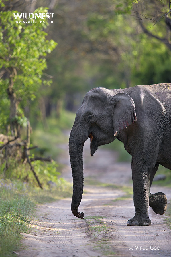 Elephant at Rajaji Vinod Goel Wildlife Photographer