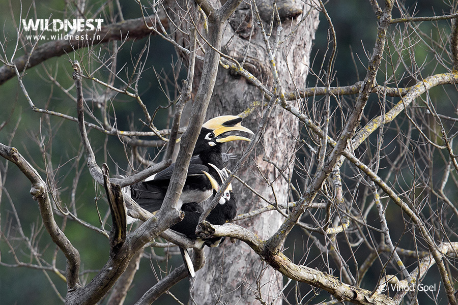 Oriental Pied Hornbill mating at Rajaji National PArk