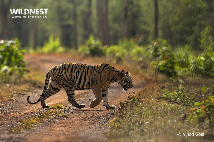 Tiger in habitat at Tadoba Andhari Tiger Reserve