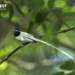 Asian Paradise Fly Catcher at Tadoba Andhari Tiger Reserve
