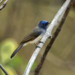 Black Naped Monarch at Tadoba Andhari Tiger Reserve