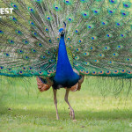 Peacock dancing at Delhi