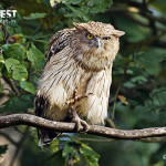 Brown Fish Owl at Dudhwa National Park