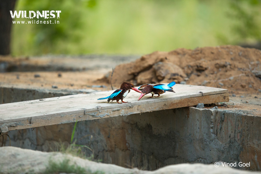 courtship of kingfisher at delhi