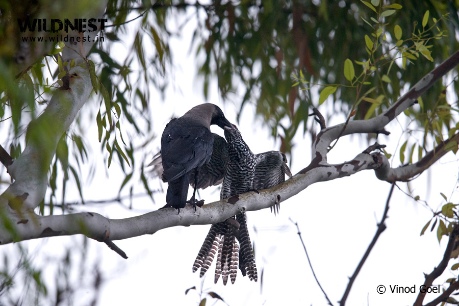 crow feeding koel baby at delhi