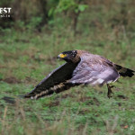 Eagle Flying at Tadoba Andhari Tiger Reserve