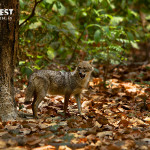 Jackal shouting at Corbett Tiger Reserve